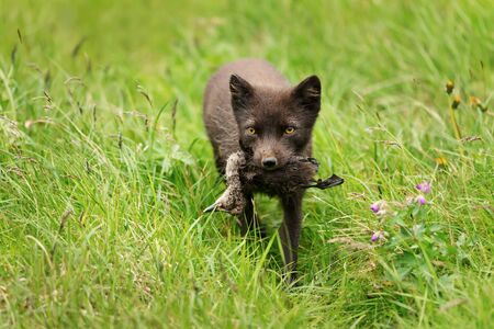 Close-up of a female Arctic fox (Vulpes lagopus) carrying a dead bird for cubs, Iceland.