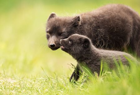 Close up of a female Arctic Fox (Vulpes lagopus) with a cute little cub, Iceland.