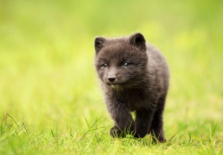 Close up of a cute little  Arctic Fox (Vulpes lagopus) cub running in meadow, Iceland.
