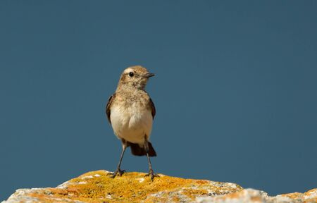 Close up of a Pied Wheatear (Oenanthe pleschanka) perched on a rock against blue background, Bulgaria. Stok Fotoğraf
