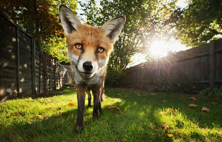 Close up of a red fox in the garden at sunset, UK. Stok Fotoğraf