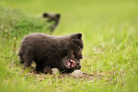 Close up of playful small Arctic fox (Vulpes lagopus) cubs in summer, Iceland. Stok Fotoğraf