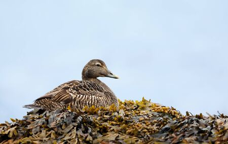 Close-up of a female common eider lying in seaweeds, Iceland.