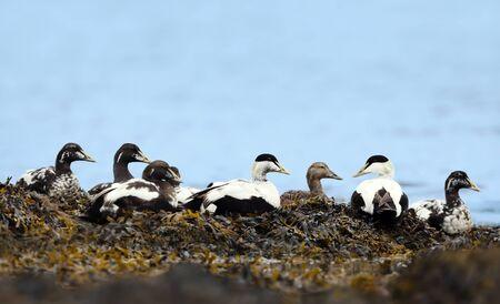 Group of Common eiders lying in seaweeds, Iceland. Stok Fotoğraf