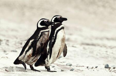 Two magellanic penguins walking on a sandy beach in Falkland Islands. Stok Fotoğraf