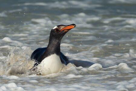 Close up of a diving Gentoo penguin (Pygoscelis papua), Falkland Islands.