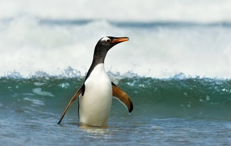 Close up of a Gentoo penguin coming ashore from stormy waters, Falkland Islands. Stock Photo