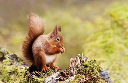 Red Squirrel eating nuts on a mossy log against green background in the forest , Scotland, UK.