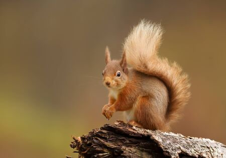 Close up of a red squirrel sitting on a log in the forest , Scotland, UK. Stok Fotoğraf
