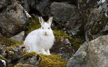 Close up of a Mountain hare (Lepus timidus) in the highlands of Scotland.