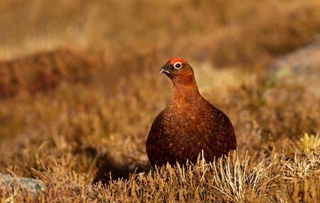 Close up of a male red grouse (Lagopus lagopus scotica) in the  field of heather in autumn, Scotland. Stok Fotoğraf