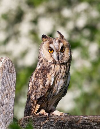 Close up of a Long-eared owl perched on a post against green background, UK.