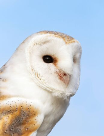 Close up of a Barn Owl (Tyto alba) against blue background, England.