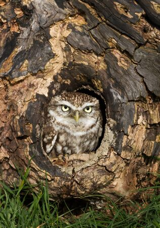 Close up of a Little owl (Athene noctua) perched in a tree trunk, UK. Stok Fotoğraf