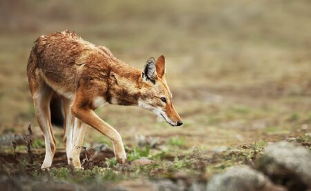 Close up of a rare and endangered Ethiopian wolf (Canis simensis) in Bale mountains, Ethiopia.