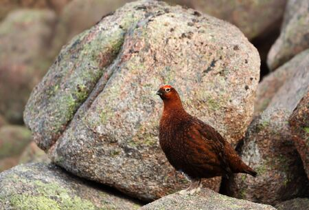 Male red grouse (Lagopus lagopus scotica) perched on rocks in Scottish mountains.