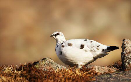 Close up of a male Rock Ptarmigan (Lagopus muta) in Scottish mountains.