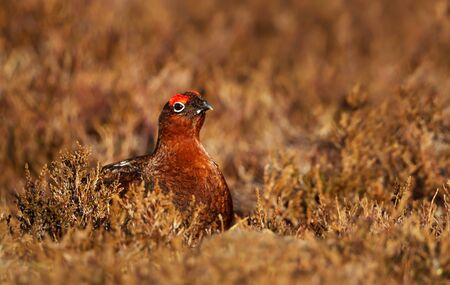 Close up of a male red grouse (Lagopus lagopus scotica) in the  field of heather in autumn, Scotland. 免版税图像