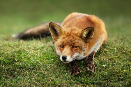Close up of a relaxed Red fox lying on a grass in summer.