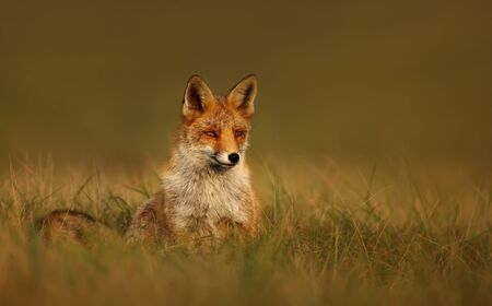 Close up of a Red fox at sunset, Netherlands.