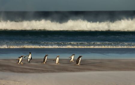 A group of Gentoo penguins on a sandy beach on a windy day in Falkland Islands. Stock Photo