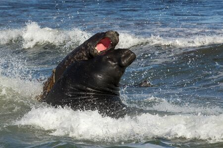 Close-up of Southern elephant seals fighting in the Atlantic ocean, Falkland Islands.