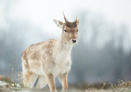 Close up of a young Fallow deer in late autumn, UK. Stock Photo