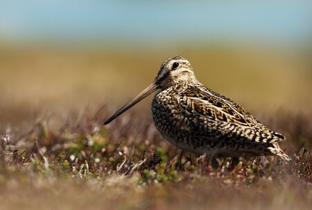 Close up of a south american snipe in wetlands. Stok Fotoğraf