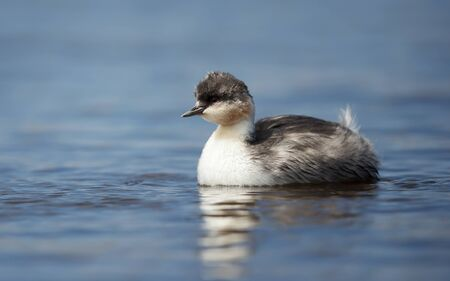 Close up of a Silvery Grebe (Podiceps occipitalis) chick swimming in a freshwater lake, Falkland Islands.