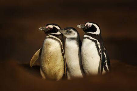 Close-up of Magellanic penguins standing near a burrow, Falkland Islands. Stok Fotoğraf