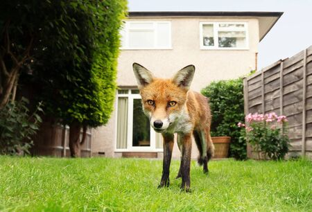 Close up of a Red fox standing in the garden with flowers near house in a suburb of London, summer in UK. Stok Fotoğraf