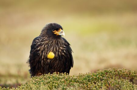 Close-up of Striated Caracara against green background, Falkland Islands.