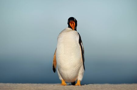 Close up of a Gentoo penguin calling in Falkland Islands.
