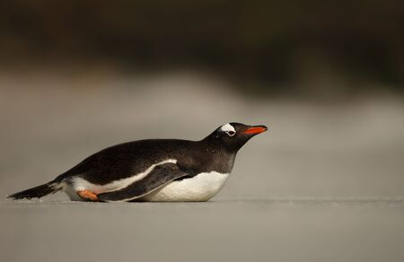 Close up of a Gentoo penguin lying on a sandy beach by Atlantic ocean, Falkland Islands. Stock Photo