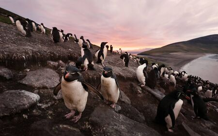 Colony of Southern rockhopper penguins at sunset, Saunders, Falkland Islands. Foto de archivo