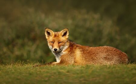 Close up of a relaxed Red fox lying on grass in summer. Stock Photo