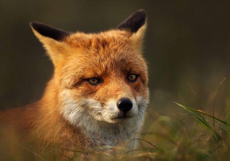 Zamknij się z rudego lisa (Vulpes vulpes) na łące. Zdjęcie Seryjne