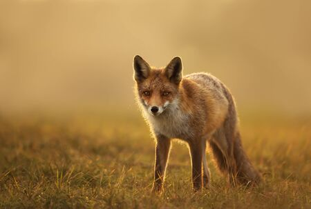 Close up of a Red fox at sunset. Stock Photo