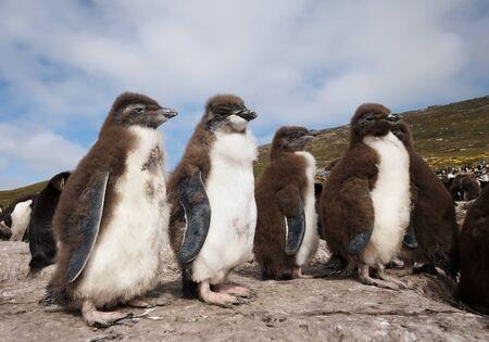 Close up of Rockhopper penguin chicks standing on rocks in a rookery, Falkland Islands. Foto de archivo