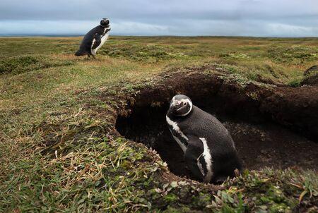 Close-up of Magellanic penguin (Spheniscus magellanicus) in the burrow, Falkland Islands. Фото со стока