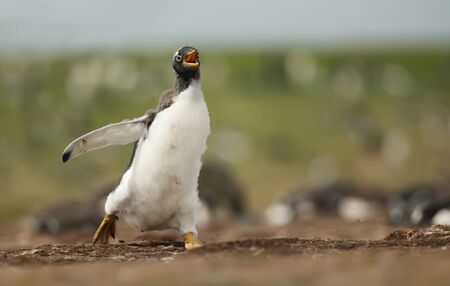 Close up of running Gentoo penguin chick, summer in the Falkland Islands. Stock Photo