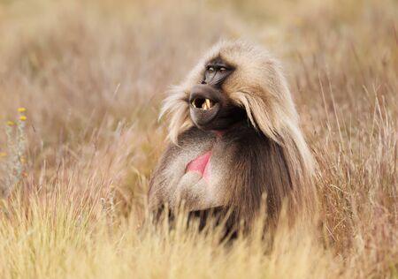 Close up of male Gelada monkey (Theropithecus gelada) sitting in grass, Simien mountains, Ethiopia.