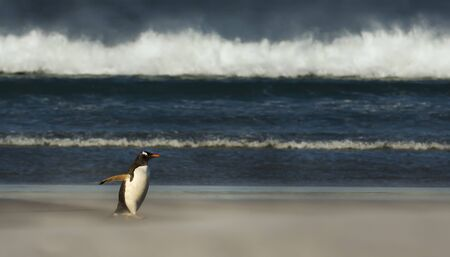 Close up of a Gentoo penguin walking on a sandy beach, Falkland Islands. Stock Photo