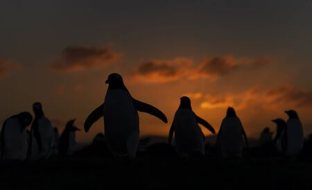 Gentoo penguins at sunset, Saunders, Falkland Islands.