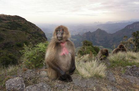 Close up of a female Gelada monkey in Simien mountains, Ethiopia.
