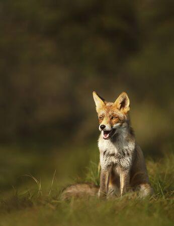 Zamknij się z rudego lisa (Vulpes vulpes) siedzi w trawie o wschodzie słońca, Wielka Brytania. Zdjęcie Seryjne