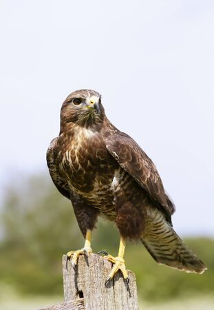 Close up of a Common Buzzard (Buteo buteo) perched on a post, UK. 免版税图像