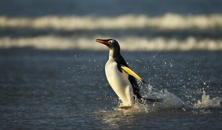 Close up of a Gentoo penguin coming ashore from stormy ocean, Falkland Islands.