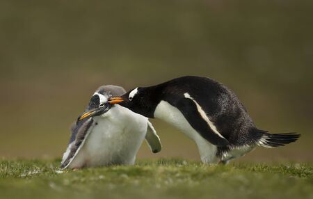 Close up of an adult Gentoo penguin pecking a chick, Falkland Islands. Stock Photo
