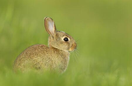 Portret van een klein konijn in gras, VK. Stockfoto